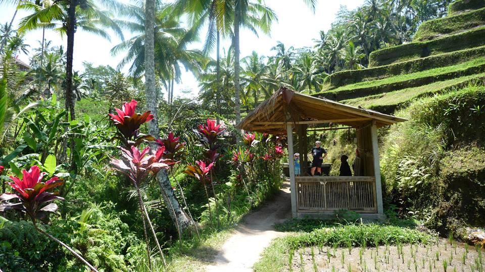 Cordylines rosebud, bananiers, cocotiers, rizière de Tegalalang